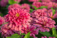 Zinnia Flower. Pink Zinnia Flower in the garden Royalty Free Stock Images