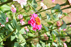 Zinnia flower1. Zinnia flower Pink garden plant Royalty Free Stock Photo