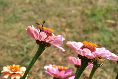 Zinnia flower2. Zinnia flower Pink with honey bee garden plant Stock Photos