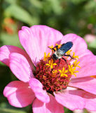 Zinnia flower3. Zinnia flower Pink with honey bee garden plant Royalty Free Stock Images