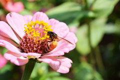 Zinnia flower8. Zinnia flower Pink with Honeybee garden plant Royalty Free Stock Image