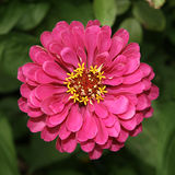 Zinnia flower. Pink square,close stock images