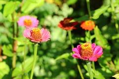 Zinnia flower in summer garden. Daylight Stock Images