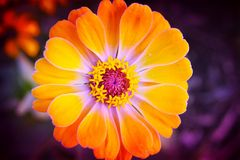 Zinnia Flower Sunburst Royalty Free Stock Image