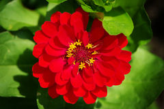 Zinnia flower top view in springtime. Red blossoming Zinnia elegans in spring garden. Stock Photo