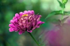 Zinnia. Flower of violet zinnia in the garden Stock Images