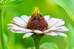 Zinnia flower stock image