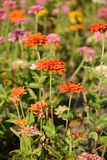 Zinnia  flower (Zinnia elegans) Royalty Free Stock Photo