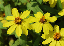Free Zinnia Flower(Zinnia Violacea Cav.) Royalty Free Stock Photo - 77420045