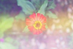 Zinnia flower (Zinnia violacea Cav.) Stock Photo