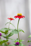Zinnia flower (Zinnia violacea Cav.) Stock Photos