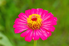 Zinnia flower (Zinnia violacea Cav.) closeup of red Zinnia flowe Royalty Free Stock Image