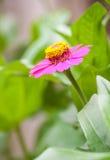 Zinnia flower or Zinnia violacea Royalty Free Stock Photography