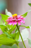 Zinnia flower or Zinnia violacea Stock Images