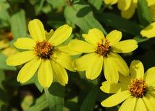 Zinnia flower(Zinnia violacea Cav.).  Royalty Free Stock Photo