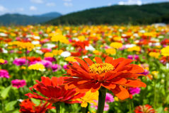 Free Zinnia Flowers Royalty Free Stock Photos - 13697788