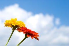 Zinnia flowers Stock Images