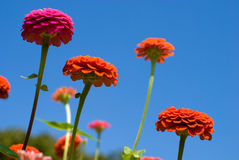 Zinnia flowers Stock Images