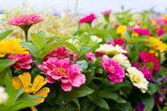Zinnia flowers. In the garden Stock Photos
