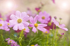 Zinnia flowers. In garden with shallow focus and lens flare effect Stock Photography
