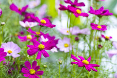Zinnia flowers. In garden with shallow focus Royalty Free Stock Photos