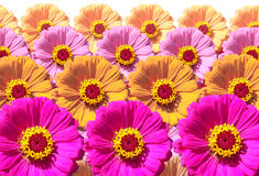 Zinnia Flowers. Colorful flowers of Zinnia in abstract arrangement royalty free stock photos