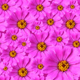 Zinnia flowers background Stock Image