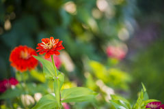 Zinnia flowers. Beautiful Zinnia flowers blooming in a garden in early morning light with natural bokeh Stock Photos