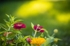 Zinnia flowers. Beautiful Zinnia flowers blooming in a garden in early morning light with natural bokeh Stock Photo