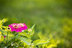 Zinnia flowers. Beautiful Zinnia flowers blooming in a garden in early morning light with natural bokeh Stock Image