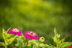 Zinnia flowers. Beautiful Zinnia flowers blooming in a garden in early morning light with natural bokeh Stock Photography