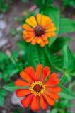 Zinnia flowers Royalty Free Stock Image