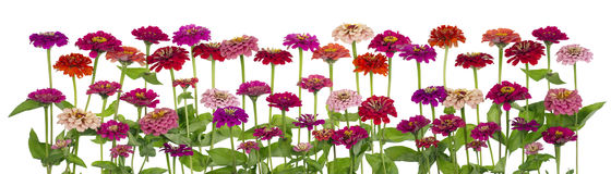 Zinnia  flowers big isolated border. Red and pink summer Zinnia  flowers  on bed big isolated line Stock Photography