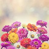 Zinnia flowers blooming. Colorful Blossom of Zinnia flowers Royalty Free Stock Photography