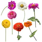 Zinnia flowers blooming. Colorful Blossom of Zinnia flowers isolated on white background stock images