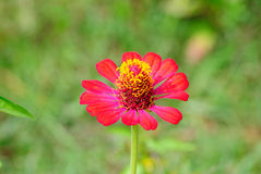 Zinnia flowers Royalty Free Stock Images