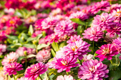 Zinnia  flowers in chiangmai province Thailand Royalty Free Stock Image