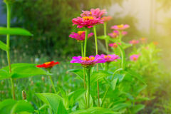 Zinnia flowers. Closeup of red (purple, lilac) Zinnia flowers in full bloom. Zinnia flowers in a garden Royalty Free Stock Photo