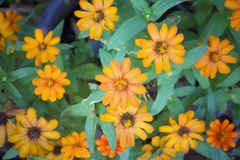 Zinnia flowers are a colorful and long-lasting addition to the flower garden. Royalty Free Stock Photos