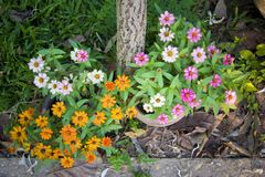 Zinnia flowers are a colorful and long-lasting addition to the flower garden. Stock Photo