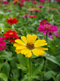 Zinnia Flowers colorful, orange, pink, yellow, red, purple. Royalty Free Stock Image