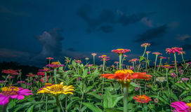 Zinnia flowers in dawn Royalty Free Stock Photography