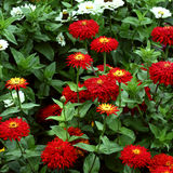 Zinnia flowers Stock Image