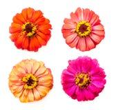 Zinnia flowers Stock Photography
