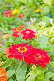 Zinnia flowers in the garden Royalty Free Stock Image