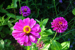 Zinnia Flowers Stock Photography