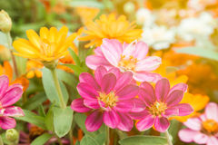 Zinnia flowers Stock Photos