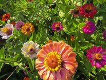 Zinnia flowers in garden Stock Photography