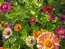 Zinnia flowers in garden. Beautiful zinnia flowers. Close up view of zinnia flowers  in the summer garden Stock Photos