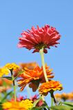 Zinnia flowers in a garden bed Stock Photo